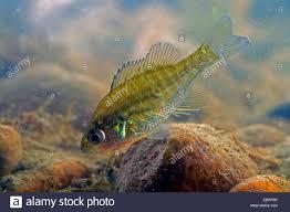 Pumpkin Seed Sunfish Pictures by Pumpkin Seed Sunfish Pumpkinseed Lepomis Gibbosus Juvenile