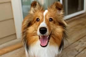 6 signature traits of your shetland sheep dog