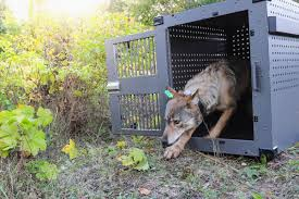Wolf Taken To Isle Royale National Park This Fall Dies | Don't Miss ... New York Terror Suspect Drove Truck Into School Bus With Children On Cdl Truck Driving School Guide A List Of Recommended Mercedesbenz Gclass Army Wolf Convertible An Answer To Driver Shortage Fxible Traing Program Ceerpoint 97079449 Attack Charged Federal Terrorism Offenses Cnn Wolf Administration Urges Drivers Use Caution In Coming Winter Vehicle Wrap Best Practices For Maximum Exposure Phoenix Masculine Bold Logo Design Tennessee Driver Appreciation Quotes Drivers Wife Poem Penndot Seeking Holders Seasonal Maintenance Work