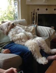 wheaten terrier chillin with his humans critters tame and wild