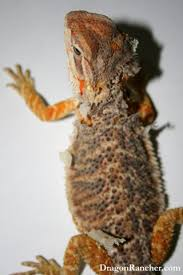 bearded dragon care guide dragon rancher