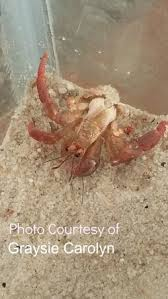 Do Hermit Crabs Shed Their Legs by In An Emergency Canadian Crab Connection