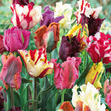 parrot mix tulip bulbs buy tulip bulbs on sale at edenbrothers