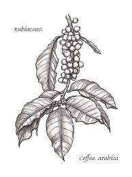 The Images Collection Of Botanical Illustration Pencil And In Color