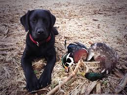 Black Mouth Cur Shed Hunting by Sadie Labrador Retriever My Duck Dog Dogs Pinterest