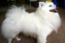 miniature american eskimo dog information facts pictures