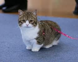 munchkins cats munchkin kittens for buy munchkin kittens