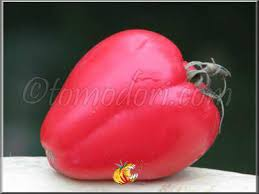 coeur de en pot tomate coeur de boeuf en pot ou jardiniere vos avis au