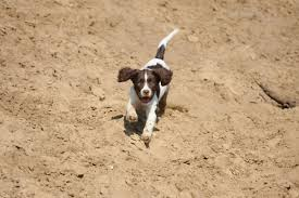 Springer Spaniel Shed Hunting by Welsh Springer Spaniel Information Dog Breeds At Dogthelove