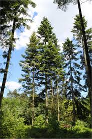 Noble Christmas Trees Vancouver Wa by Abies Grandis Wikipedia