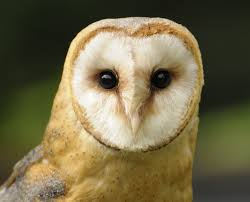 Owl Barn - Hotelroomsearch.net Barn Owl Facts About Owls The Rspb Bto Bird Ring Demog Blog October 2014 Chouette Effraie Lechuza Bonita Sbastien Peguillou Owl Free Image Peakpx Wikipedia Barn One Wallpaper Online Galapagos Quasarex Expeditions Hungry Project Home Facebook Free Images Nature White Night Animal Wildlife Wild Hearing Phomenal Of Nocturnal Wildlife Animal Images Imaiges