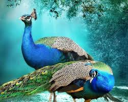 Beautiful Background Peacock Pair Hd Wallpaper