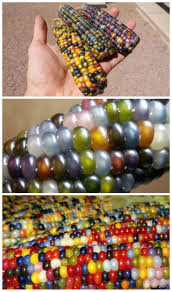35 Best Rainbow Corn Images On Pinterest   Vegetables, Exotic ... Prettiest Popcorn I Ever Did Grow The Unfettered Fox Glass Gem Corn Littlegirlstory Glass Gem Corn The Cover Of Our Whole Seed Catalog Carls Flint Is An Unbelievably Stunning Bred By Part Hdenosaunee The Iroquois Confederacy Tuscarora White Oliveloaf Design Afbeeldingsresultaat Voor Peru Brazil Colored Pinterest 9 Best Sweetcorn Images On Color 2 Cob And Maze Story Behind Business Insider 1293 Indian Fruit Pink Popcorn