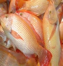 Improved Breed Of Red Tilapia Photo From The Inland Aquatic Resources Research Division DOST PCAARRD