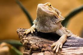 Bearded Dragon Heat Lamp Went Out by Caring For Your Reptile While On Vacation