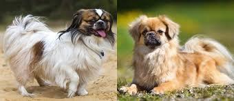 Toy American Eskimo Dog Shedding by Definitive Guide To Best Dog Breeds Certapet