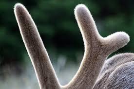 do deer shed their antlers wonderopolis