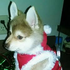 Do Pomskies Shed Fur by South Town Pomskies Home Facebook