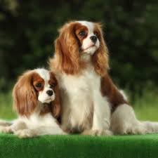 Terriers That Dont Shed by Small House Dog Breeds That Don T Shed Breed Dogs Picture