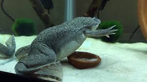 Should African Dwarf Frogs Shed by African Clawed Frog Sheds And Eats Own Skin Youtube