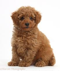 Non Shedding Hypoallergenic Small Dogs by Hypoallergenic And Low Shedding Dogs
