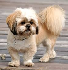 lhasa apso puppy shedding more about the shih tzu lhasa apso mix aka the shih apso dogable