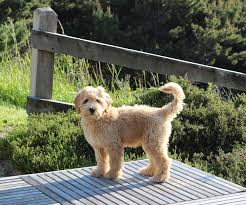 Non Shedding Small Dogs Australia by About Us Columbia Springs Labradoodlescolumbia Springs Labradoodles