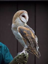 Barn Owls Images - Google Search | Inspirational Birds | Pinterest Tasmian Masked Owl Wikipedia Sylvierland Moments And Thoughts Owl In Front Of The Farmer Writes Threats To Barn 13 October 2015 Free Barn New Zealand Birds Online Tyto Alba Species Owls Have Nesting Bonanza Region Npareilonlinecom How Find Photograph Owls Bird Photography Audubon Ms De 25 Ideas Increbles Sobre Sounds En Pinterest Kansas Citys Get All The Help They Need At Lakeside Nature Australia Australian Geographic Local Wildlife Landscape Our Local Voice