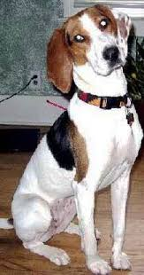 Do Treeing Walker Coonhounds Shed by Treeing Walker Coonhound Dog Breed