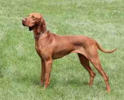 Vizsla Shedding Puppy Coat by A Review Of The Best 70 Hypoallergenic Dogs That Don U0027t Shed Small