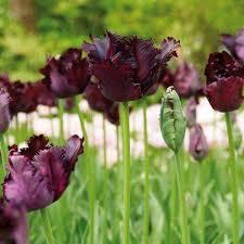 black flower bulbs garden plants flowers the home depot