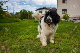 Newfoundland Dog In The Backyard In Summer Stock Photo, Picture ... Grumpy Senior Dog In The Backyard Stock Photo Akchamczuk To With Love January 2017 Friendly Ideas In Garden Pricelistbiz Portrait Of Female Boxer Dog Standing On Grass Backyard Lavish Toys For Dogs Toy Organization February Digging Create A Sandbox Just For His Digging I Like Quite Moments Fall Wisconsin Quaint Revival Yesterday Caught My Hole Today Unique Toys Architecturenice Cia Fires Since Sniffing Bombs Wasnt Her True Calling Time A View From Edge All Love Part Two
