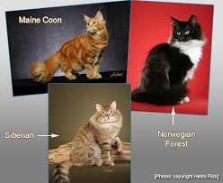 forest cat vs maine coon comparing maine coon forest and siberian cats