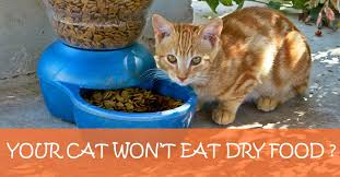 cat wont eat what to do when your cat won t eat food inspired kitten