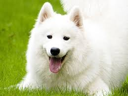 List Of Non Shedding Hypoallergenic Dogs by Hypoallergenic Dog Breeds Best Hypoallergenic Dog List