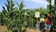 Best Pumpkin Patch Livermore by Get Lost In Bay Area Corn And Hay Mazes U2014 The Bold Italic U2014 San