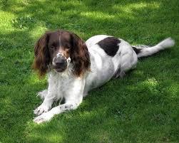 Springer Spaniel Shed Hunting by Springer Spaniel Loyal Dog Breeds Dog Breeds Puppies Friendly