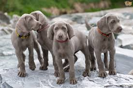 No Shed Dog Breeds Large by Weimaraner Dog Breed Information Buying Advice Photos And Facts