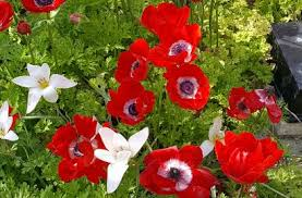 tips for growing anemone flowers bulbs gardening blooming