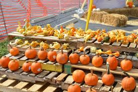 East Orlando Pumpkin Patch by Pumpkins From New Mexico Make Their Way To Apopka The Apopka Voice