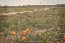 Pumpkin Patch Vancouver Washington by Traveling Hearts Photography Pumpkin Patch At Belvedere