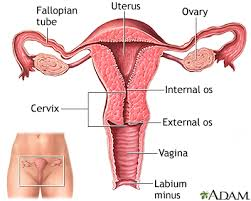 Uterus Lining Shedding During Pregnancy by Menstrual Disorders Penn State Hershey Medical Center