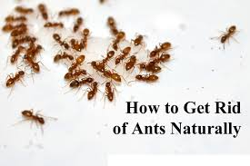 How to Get Rid Ants At Home Naturally