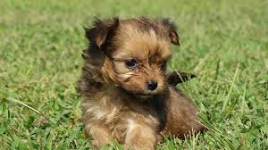 Morkies Do They Shed by Morkie Long Haired Chihuahua Puppies Pet Service Highlandville