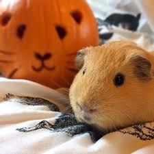 Can Rabbits Eat Pumpkin Seeds by Squidgypigs U2013 Happy Hallowheek Can Guinea Pigs Eat Pumpkin