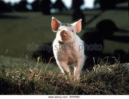 pig 1995 stock photos pig 1995 stock images