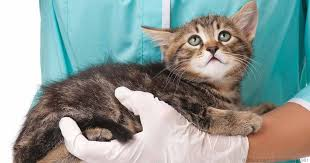 renal failure in cats why is chronic kidney disease common in domestic cats