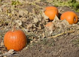 Pumpkin Patches Near Chico California by Photos News Week Of 10 23 2017 Chico Enterprise Record Media Center