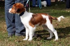 Non Shedding Dogs Family Friendly by Kooikerhondje