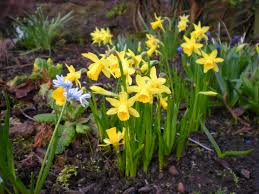 bulbs daffodil tete a tete flower bulbs